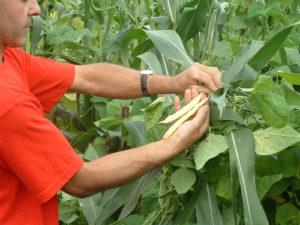 Cueillette des gousses de haricots-maïs frais